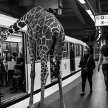 lion trapped in a net wild animals stuck in subway fubiz media lion in net a trapped