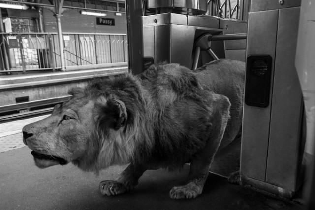 lion trapped in a net wild animals stuck in subway fubiz media lion in net a trapped 1 1