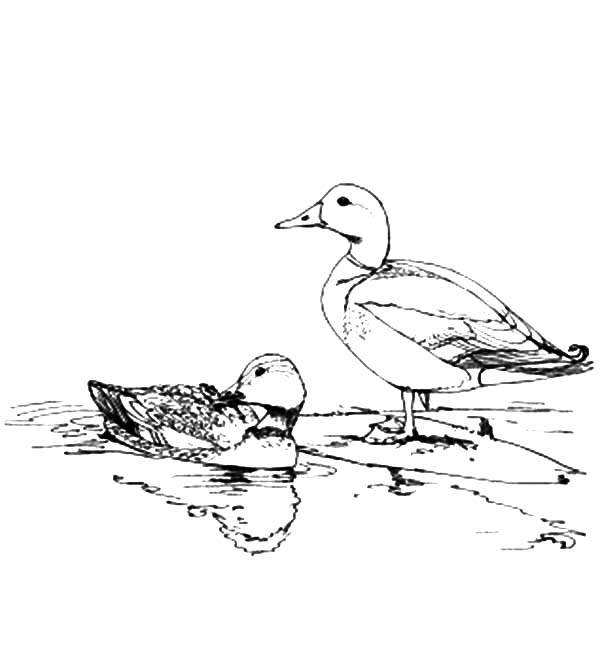 mallard duck coloring page how to draw flying mallard duck coloring pages how to coloring page duck mallard