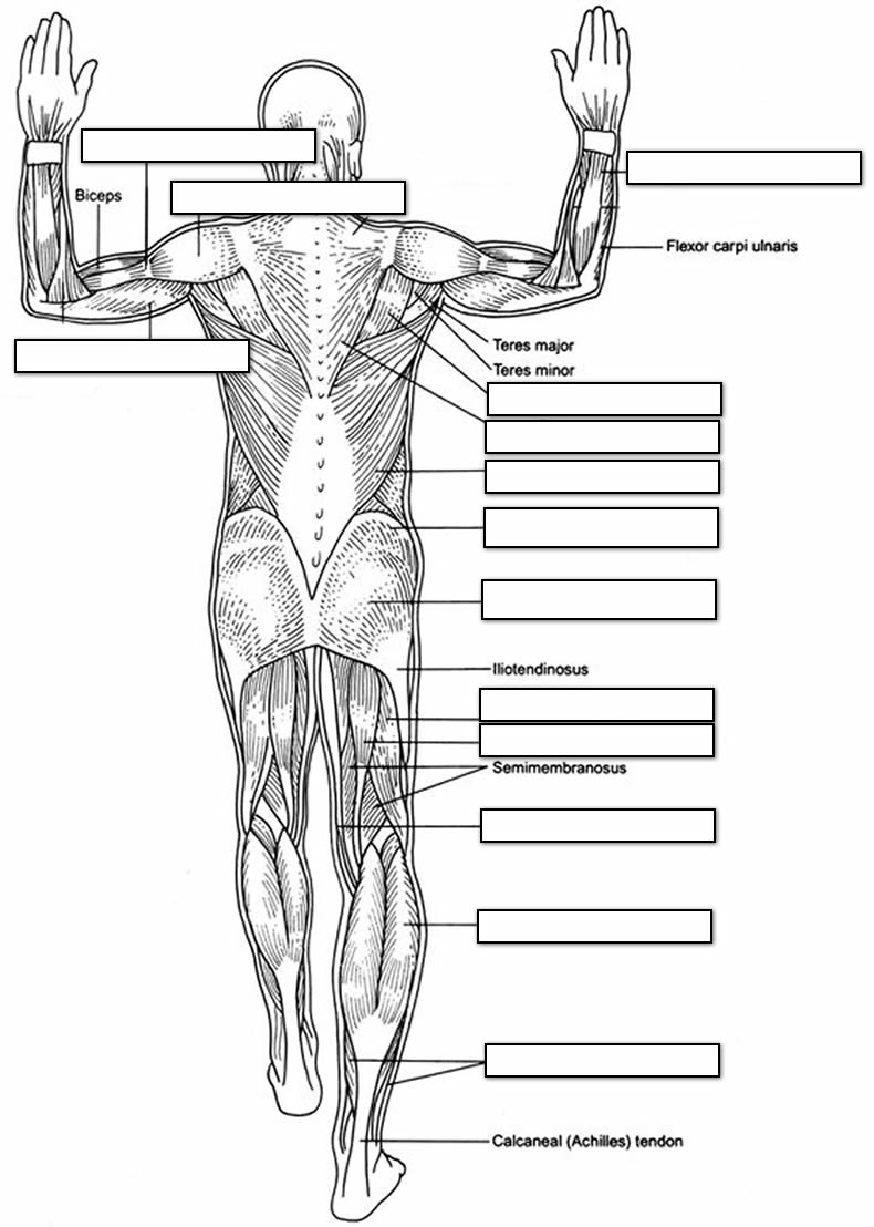 muscles worksheet for kids the muscular system coloring pages coloring home worksheet kids for muscles
