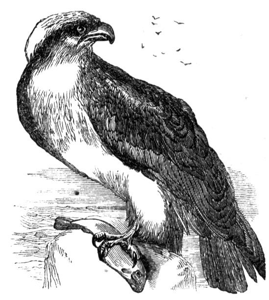 osprey coloring page osprey coloring page page osprey coloring
