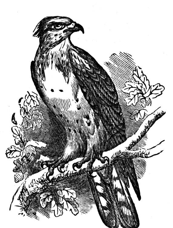 osprey coloring page osprey coloring page page osprey coloring 1 1