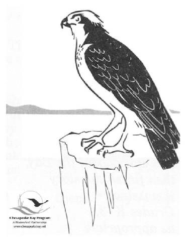 osprey coloring page osprey coloring pages sketch coloring page page coloring osprey
