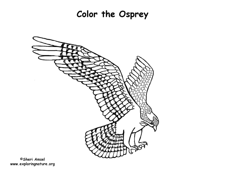 osprey coloring page osprey drawing at getdrawings free download osprey coloring page