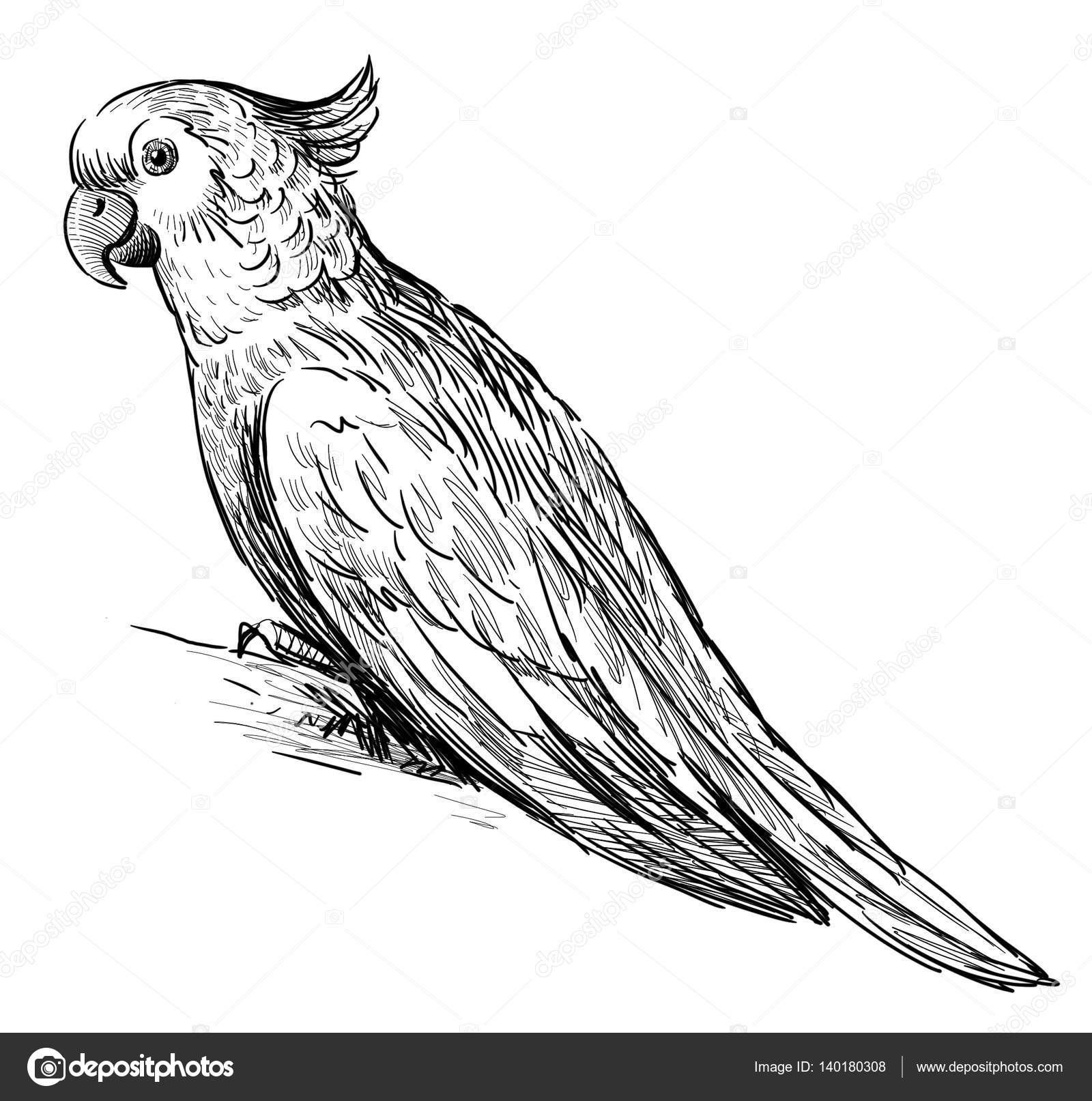 parrot outline parrot drawing outline at getdrawings free download parrot outline 1 1