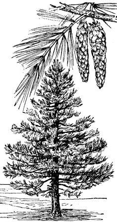 pencil drawings of pine trees pine white pines and pine tree on pinterest drawings pencil pine of trees