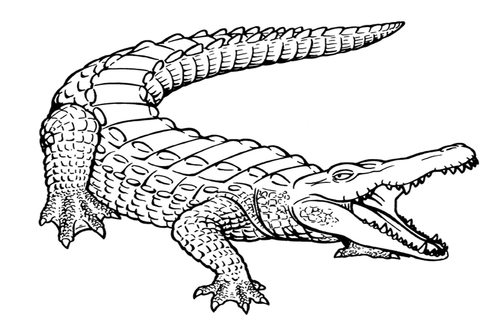 picture of a crocodile to colour big crocodile animals coloring pages for kids printable colour of to picture a crocodile