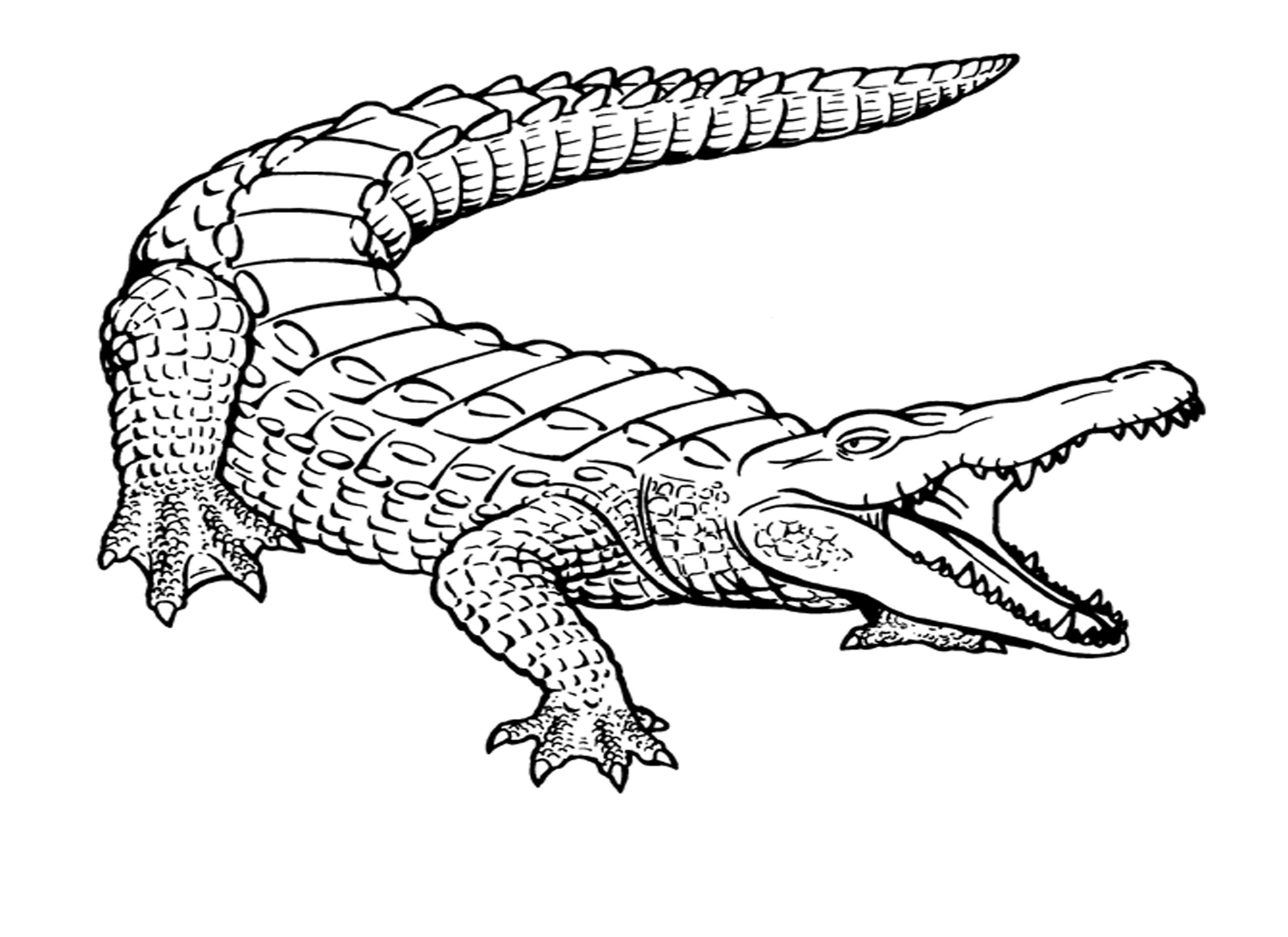 picture of a crocodile to colour crocodile coloring pages to download and print for free of crocodile to colour a picture
