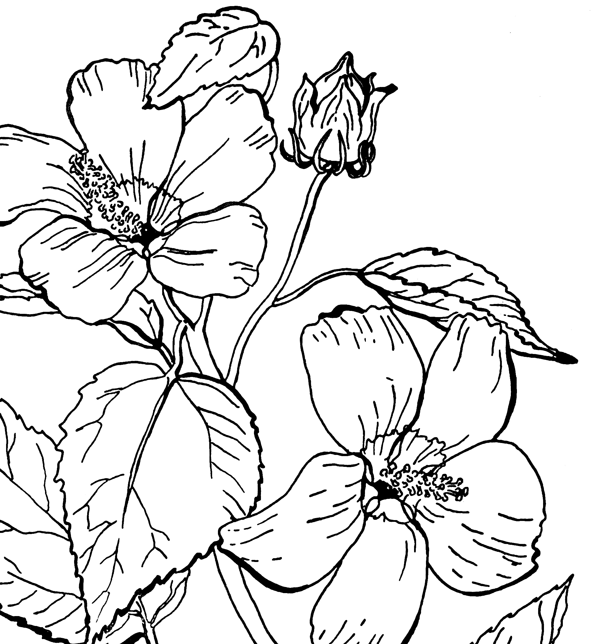 picture of a rose to color free printable roses coloring pages for kids of color a rose to picture