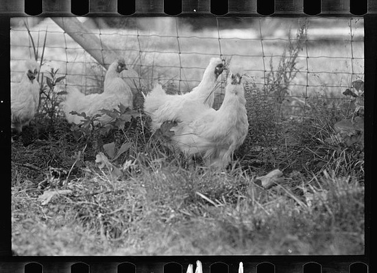 picture of chicken a brief history of domestication chickens of picture chicken