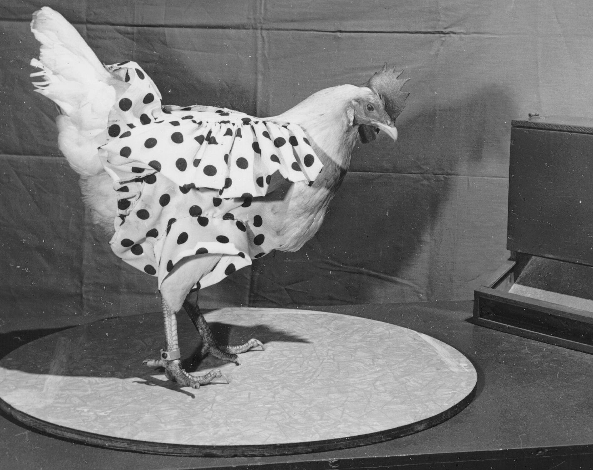 picture of chicken mike the headless chicken picture of chicken