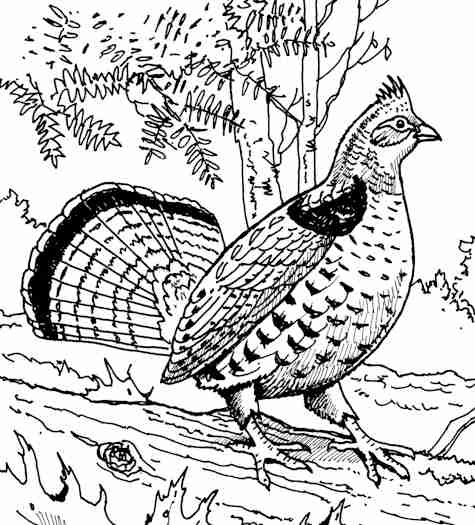 picture of pennsylvania state bird pennsylvania state bird coloring pagejpg 10201440 pennsylvania state bird picture of