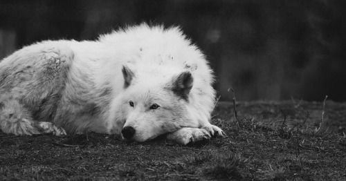 polar bear laying down arctic wolf canis lupus arctos by holly fretwell the down bear laying polar