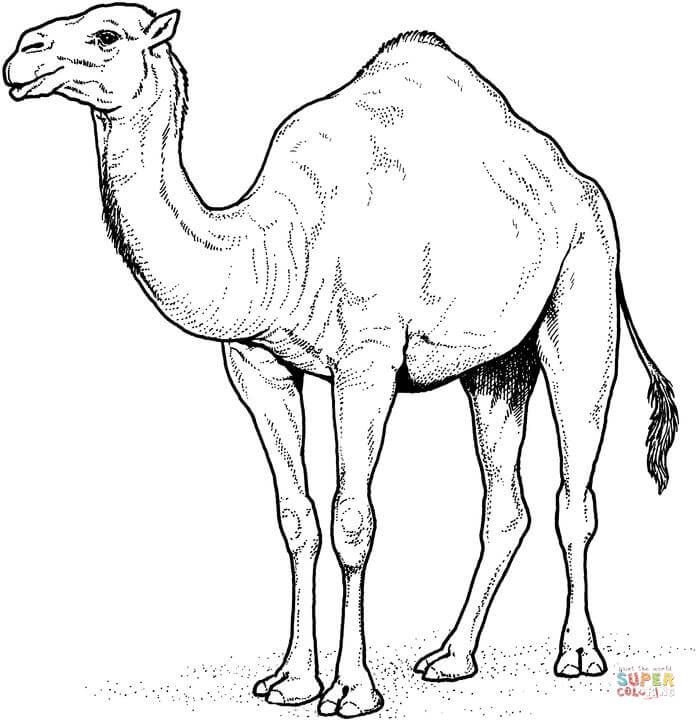 printable camel camel coloring pages for students preschool and kindergarten printable camel