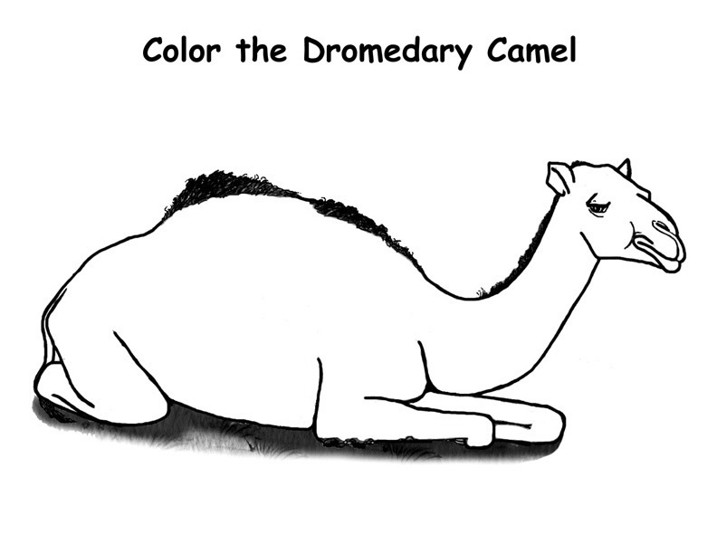 printable camel camel coloring pages to download and print for free camel printable