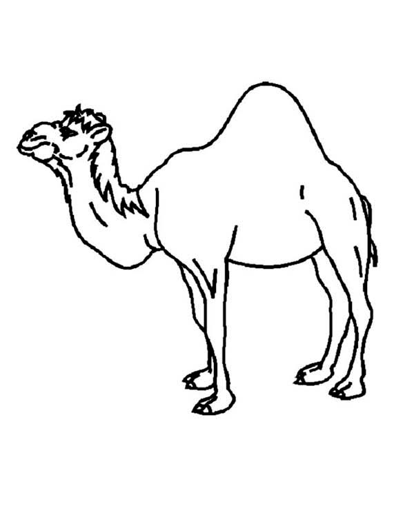 printable camel free printable camel coloring pages for kids animal place printable camel