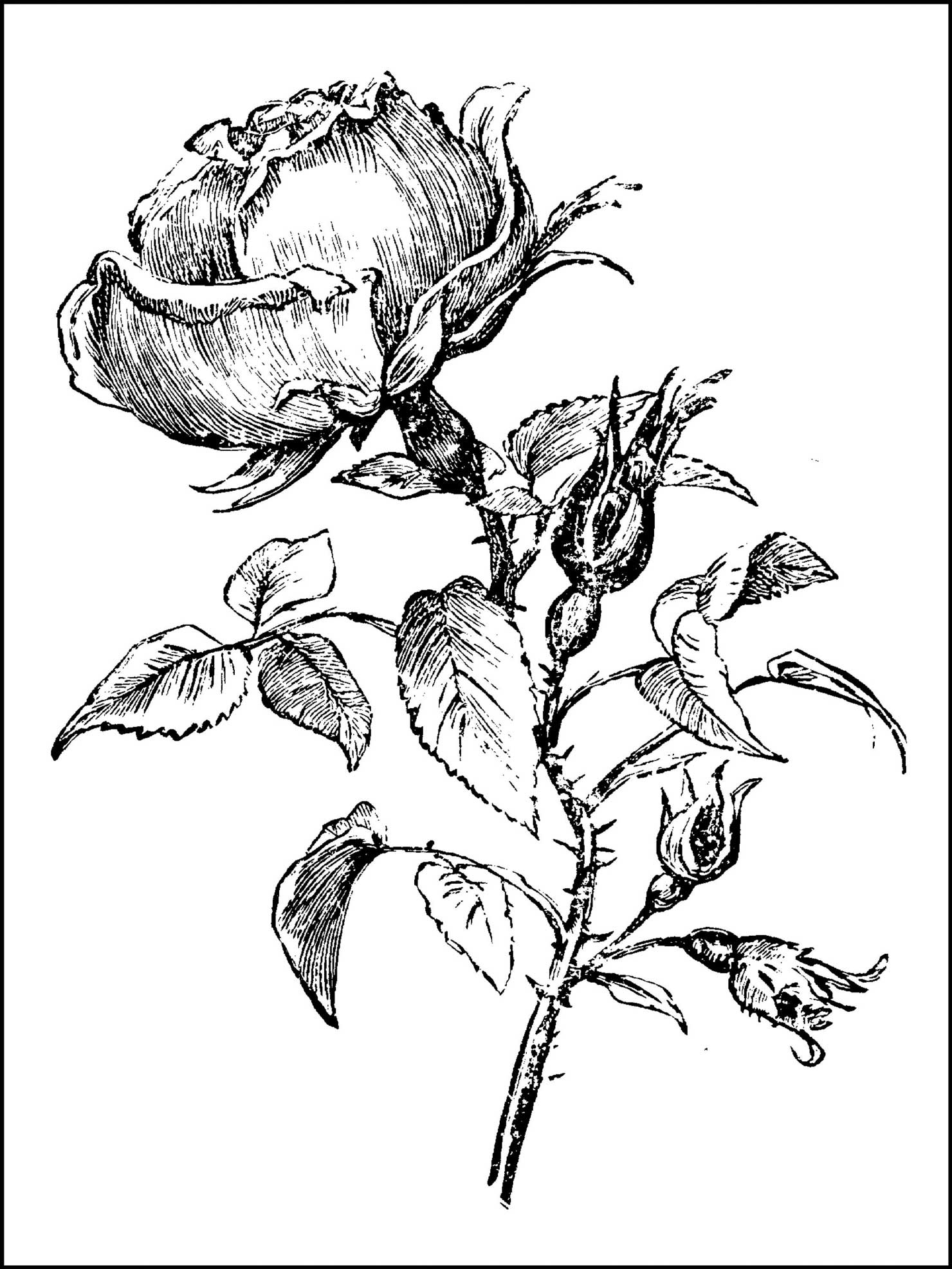 rose to color coloring pages rose to color rose