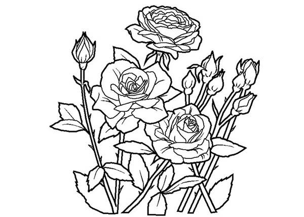 rose to color flowers coloring pages free printable flower coloring color to rose