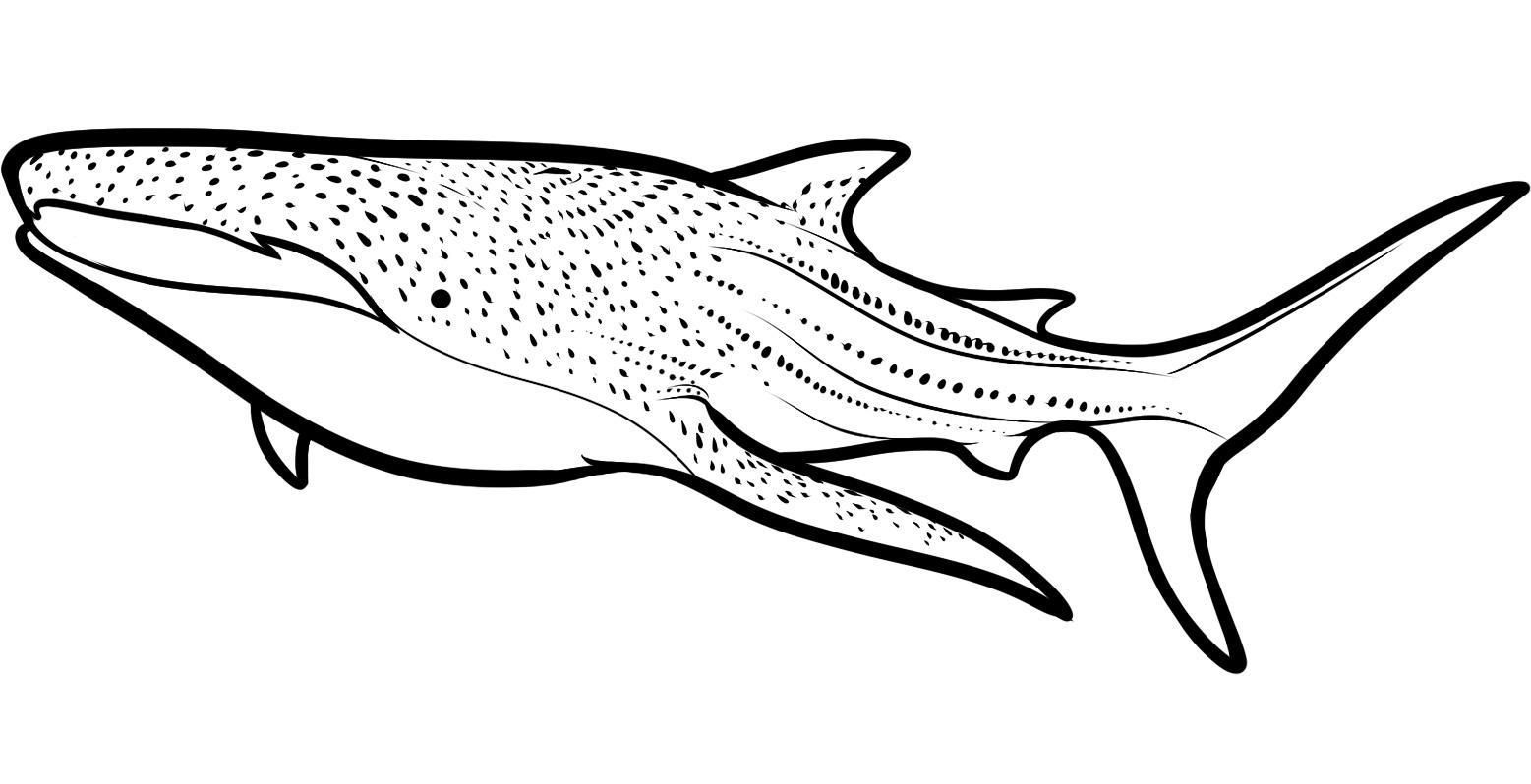 sharks to color free printable shark coloring pages coloring home sharks to color
