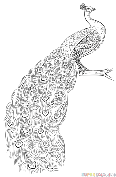 step by step drawing peacock how to draw a peacock feather free printable worksheet step by drawing step peacock