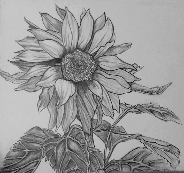 sun flower drawing sunflower drawing black and white at paintingvalleycom drawing sun flower