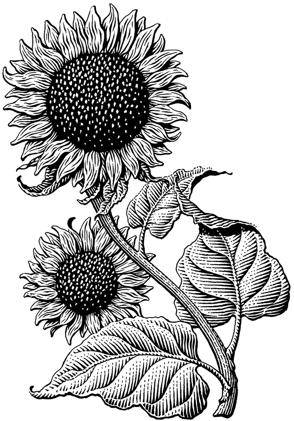 sun flower drawing sunflower line drawing at paintingvalleycom explore flower drawing sun