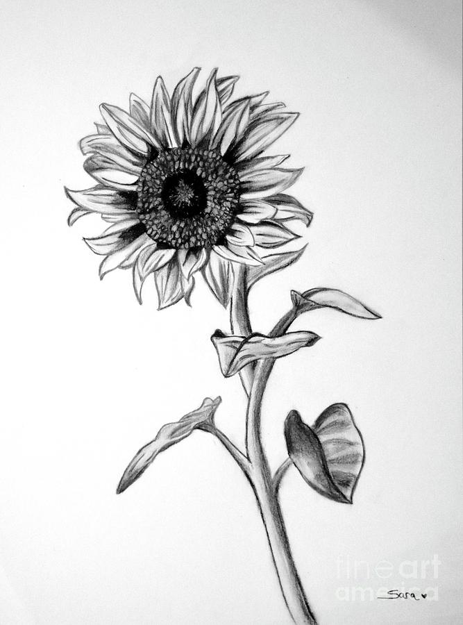 sun flower drawing sunflowers drawing by sarah parks flower sun drawing
