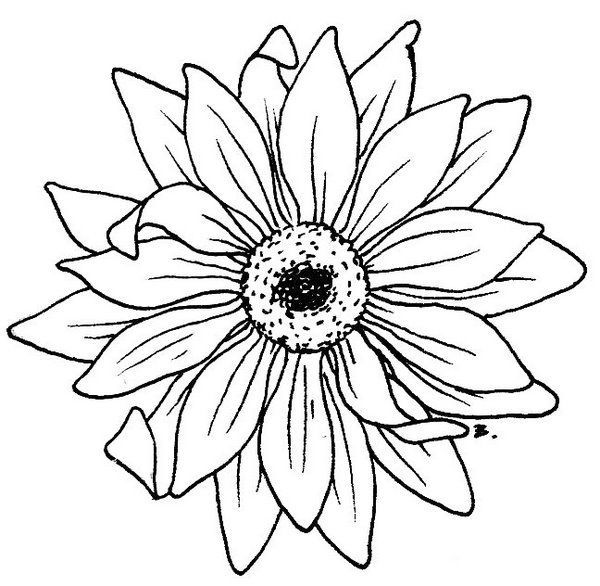 sunflower outline picture black and white sunflower drawing free download on picture outline sunflower