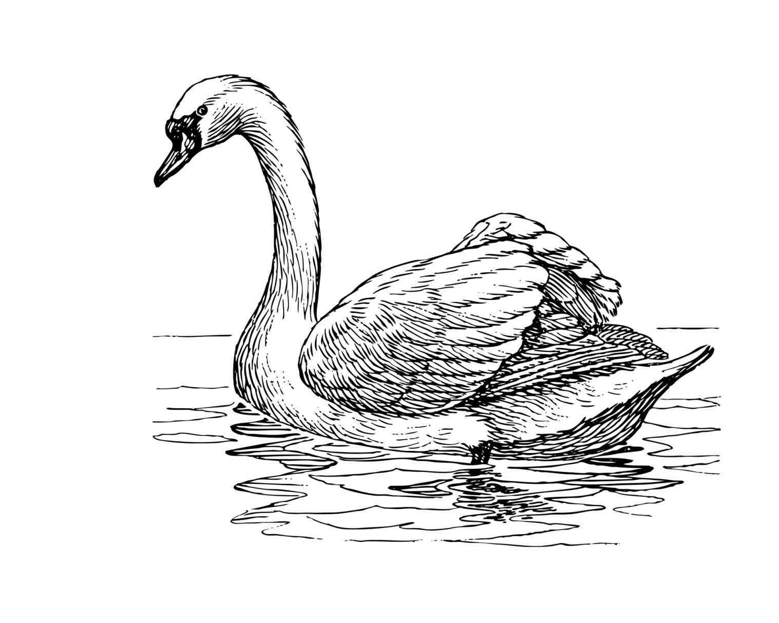 swan outline drawings swan drawing images at getdrawings free download outline drawings swan