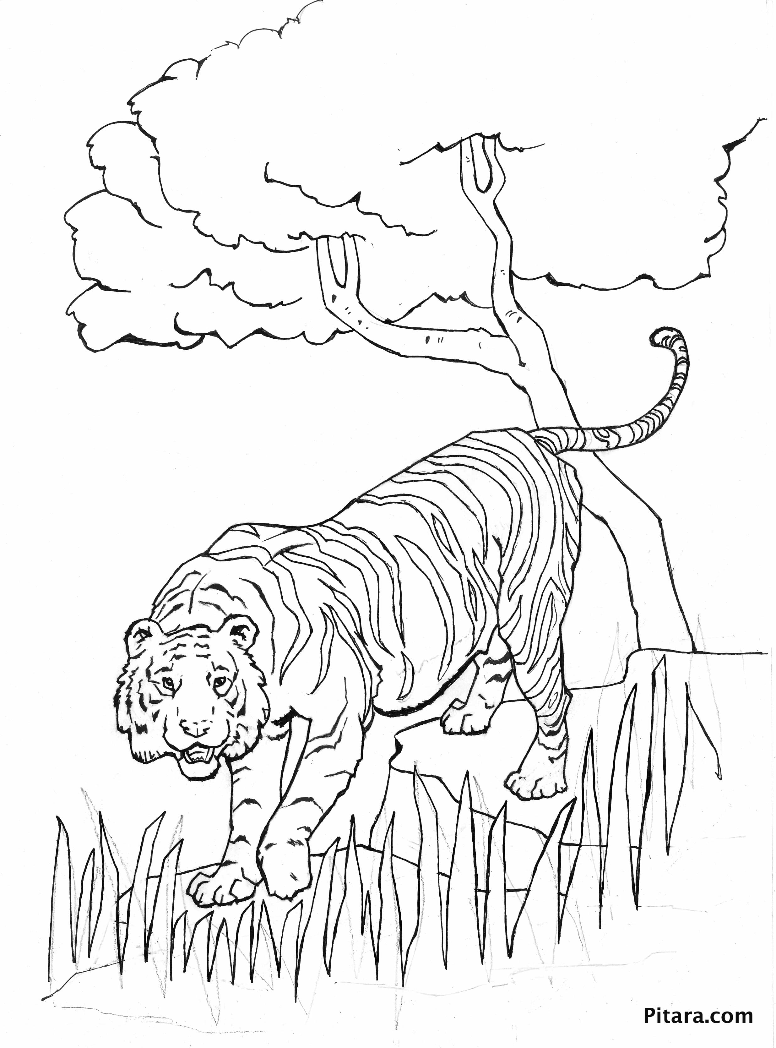 tiger images for colouring free tiger coloring pages for images colouring tiger