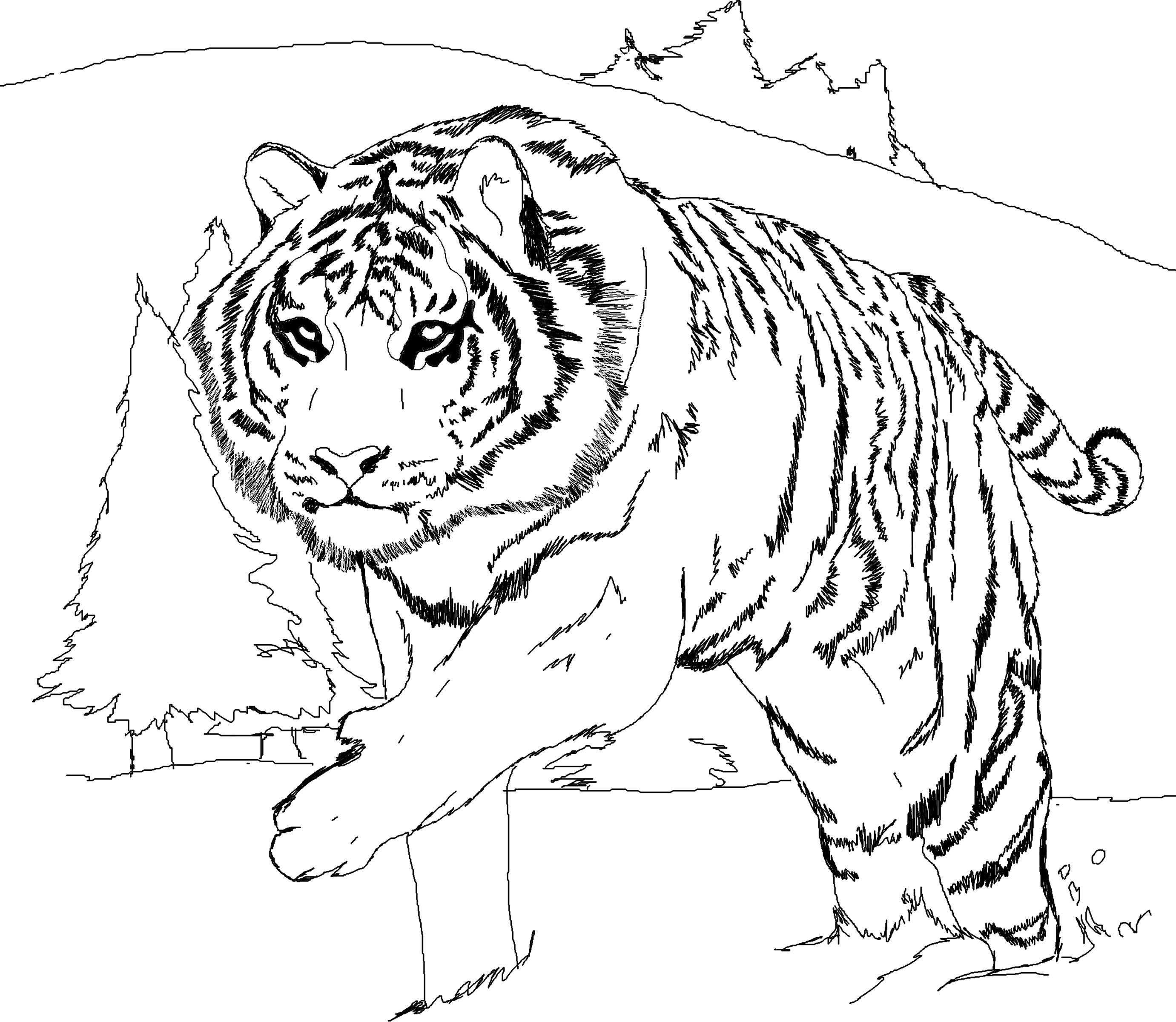 tiger images for colouring tiger line drawing at getdrawings free download tiger colouring images for