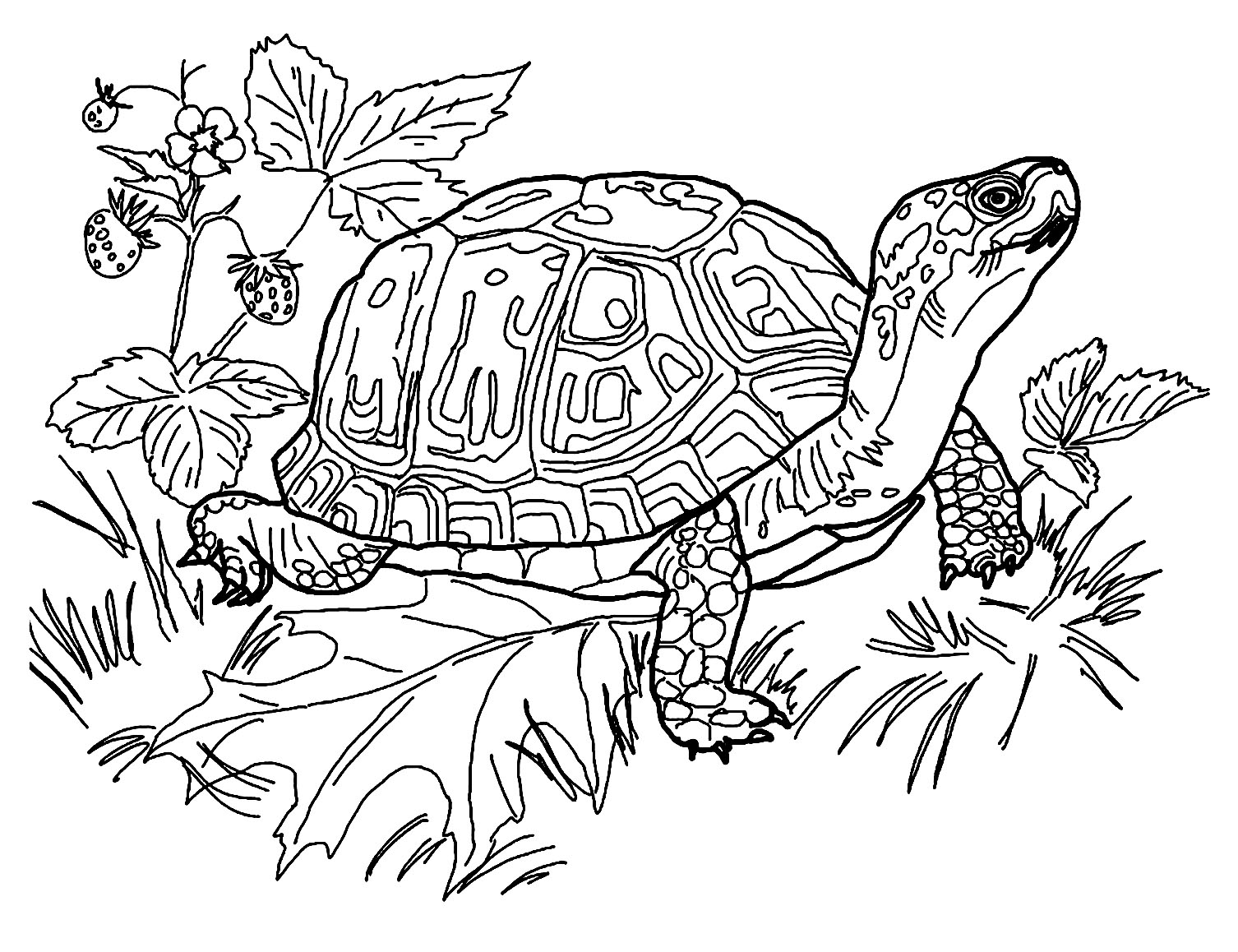 tortoise coloring page coloring pages turtles free printable coloring pages tortoise coloring page