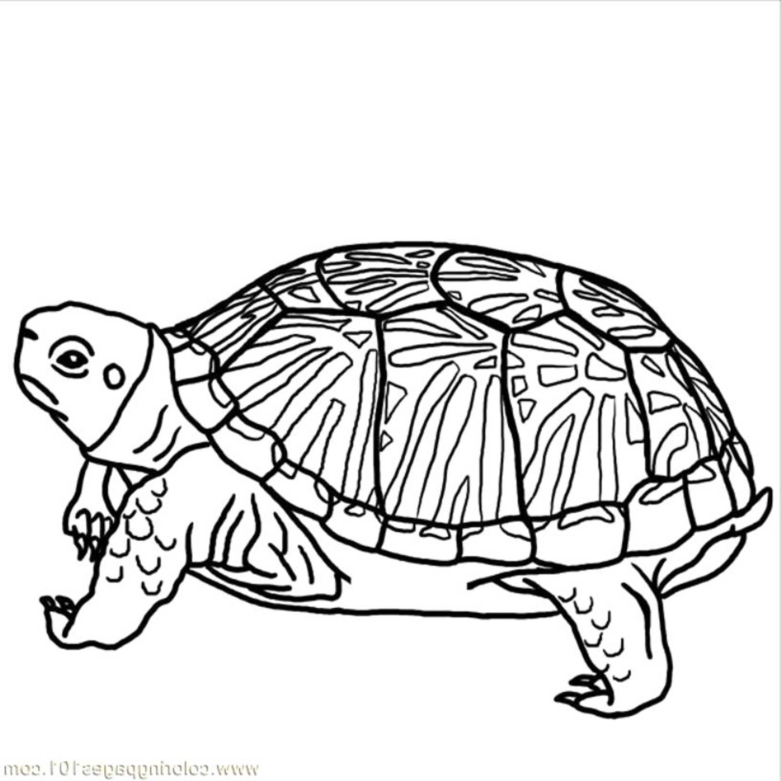 tortoise coloring page turtle hatchling illustrations royalty free vector coloring page tortoise