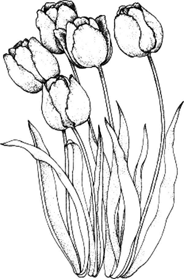 tulip colouring tulip coloring pages download and print tulip coloring pages tulip colouring