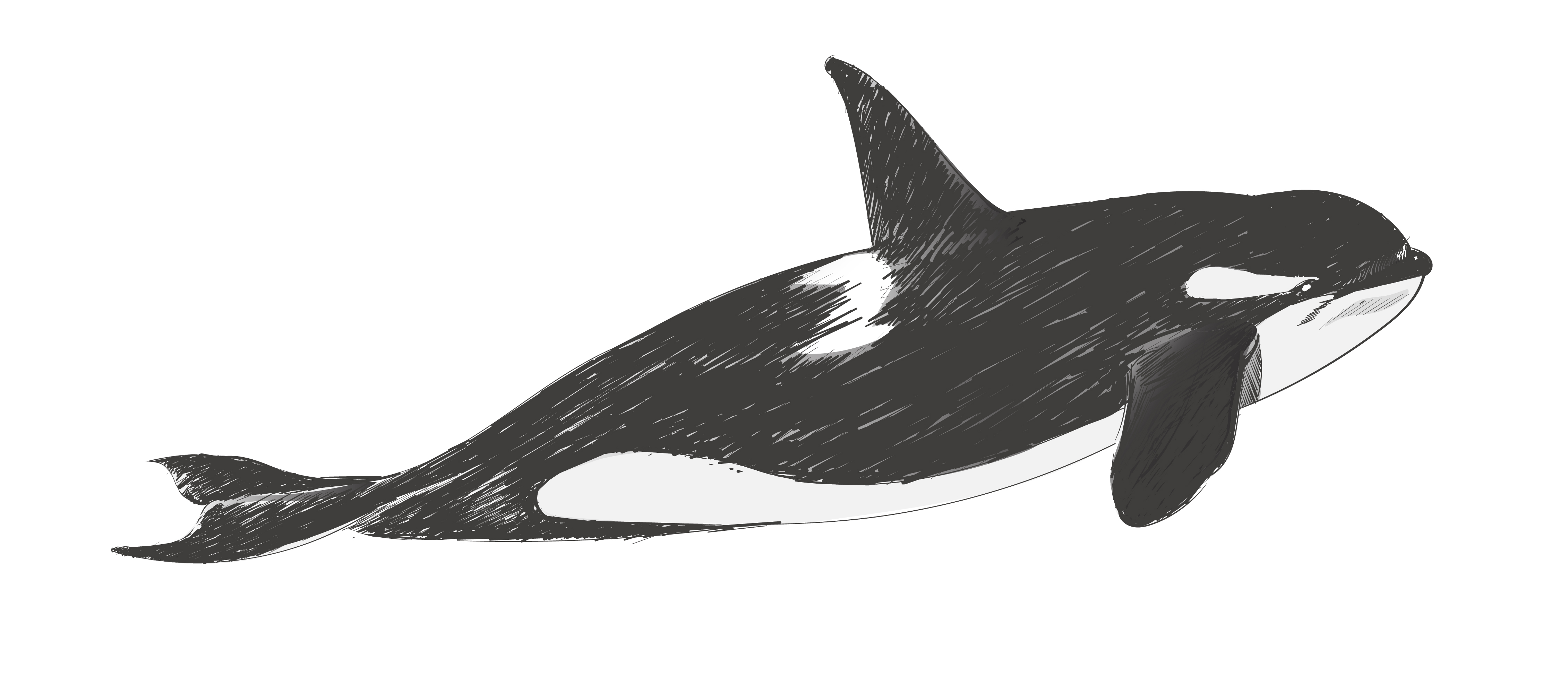 whale drawing 116 best whales images on pinterest classroom resources whale drawing