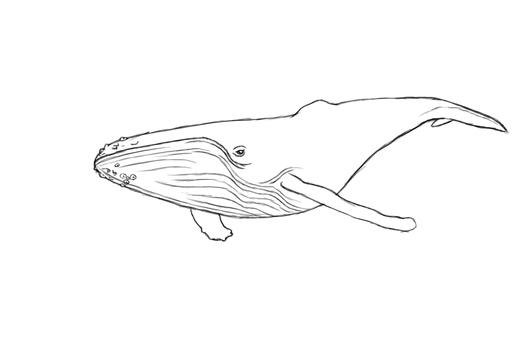 whale drawing collection of blue whale clipart free download best blue whale drawing