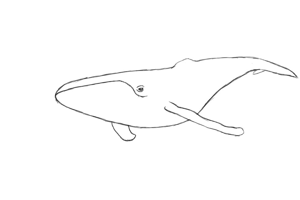 whale drawing how to draw a humpback whale humpback whale step by step drawing whale