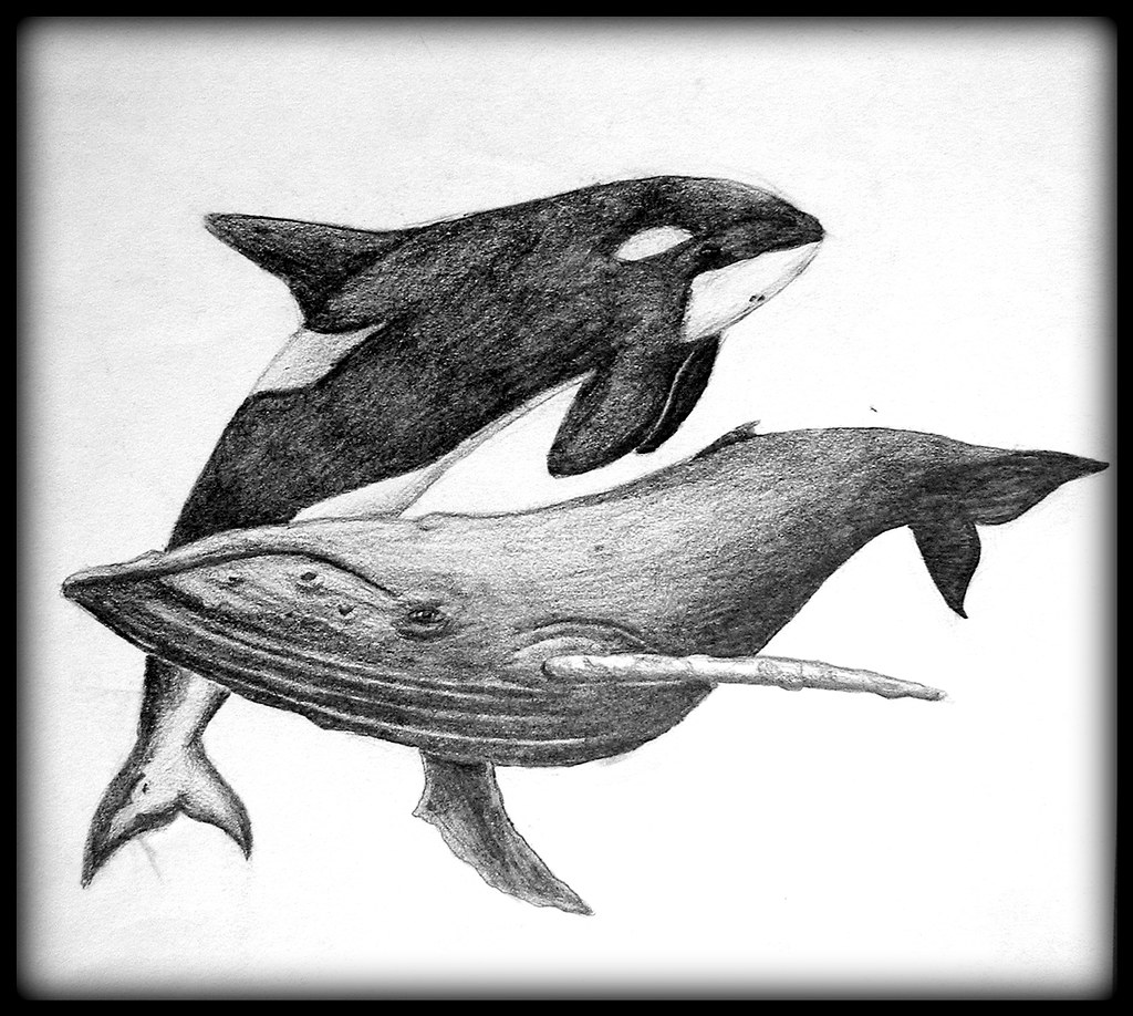 whale drawing illustration drawing style of killer whale download free drawing whale