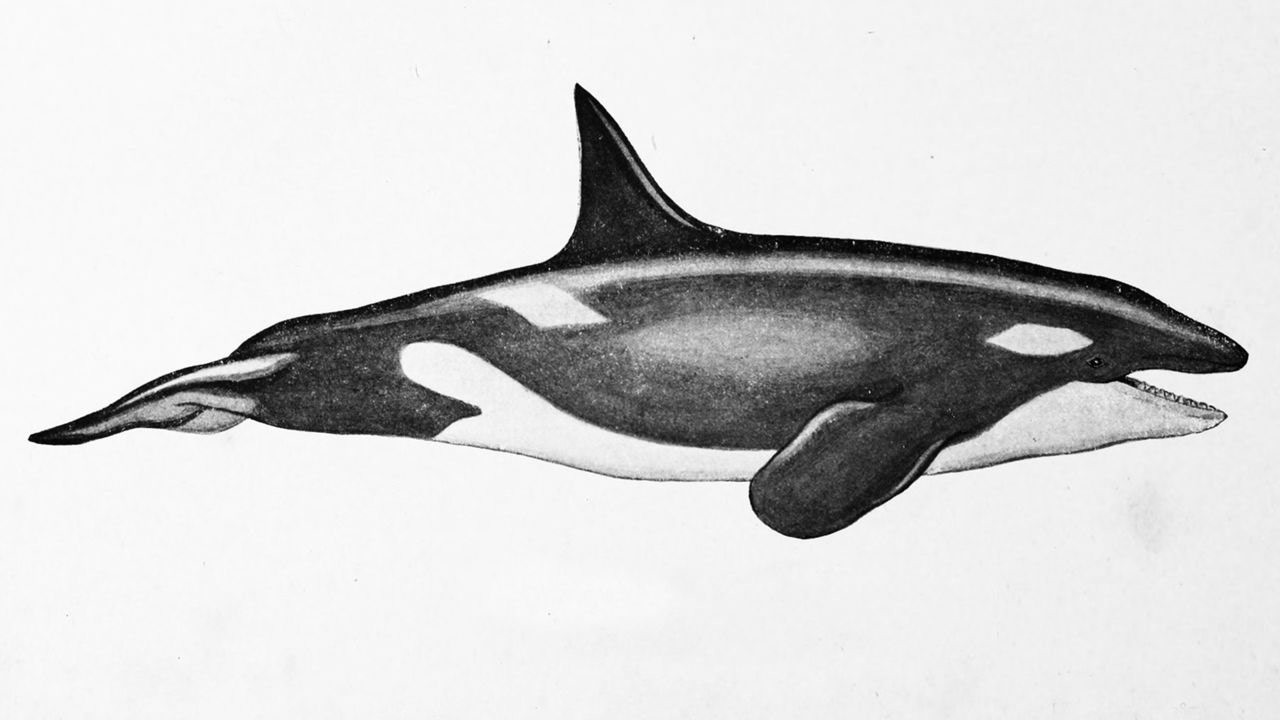 whale drawing orca killer whale drawing reference and sketches for artists drawing whale