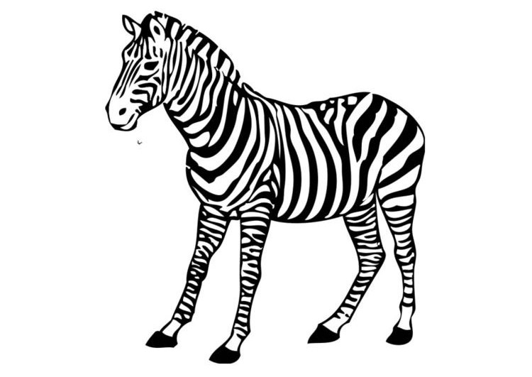 zebra print coloring pages baby zebra drawing at getdrawings free download coloring print pages zebra