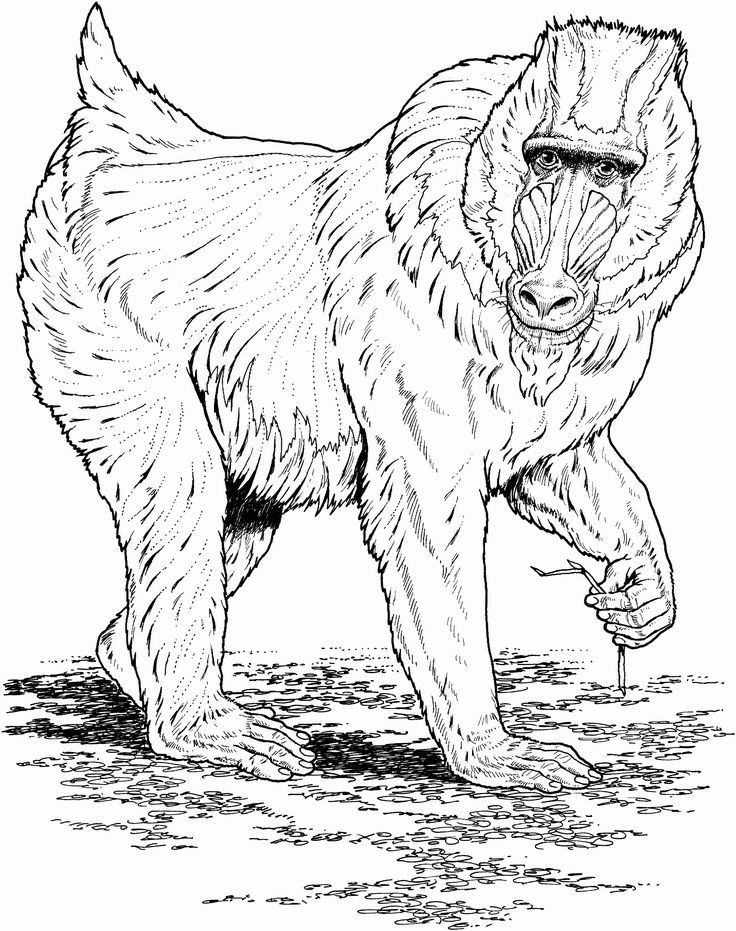 african animals printables coloring pages of african animals with images monkey animals printables african