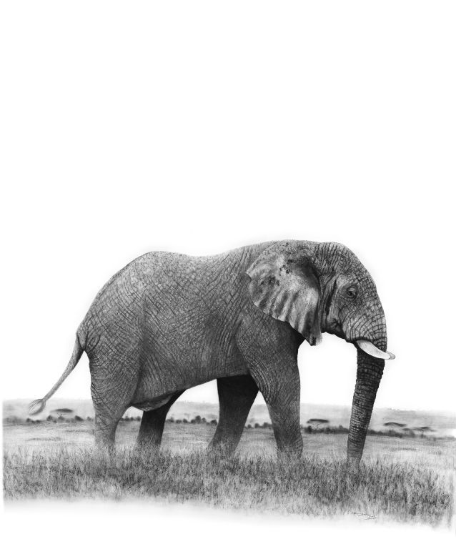 african elephant drawing realistic african elephant graphite drawing tutorial youtube drawing african elephant
