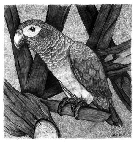 african grey drawing 17 best images about parrots on pinterest scarlet african drawing grey