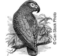 african grey drawing african grey parrot illustrations royalty free vector grey drawing african