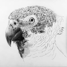 african grey drawing how to draw an african grey parrot step by step drawing grey african drawing