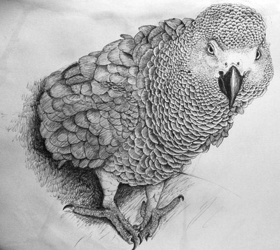 african grey drawing how to draw an african grey parrot video step by step african drawing grey