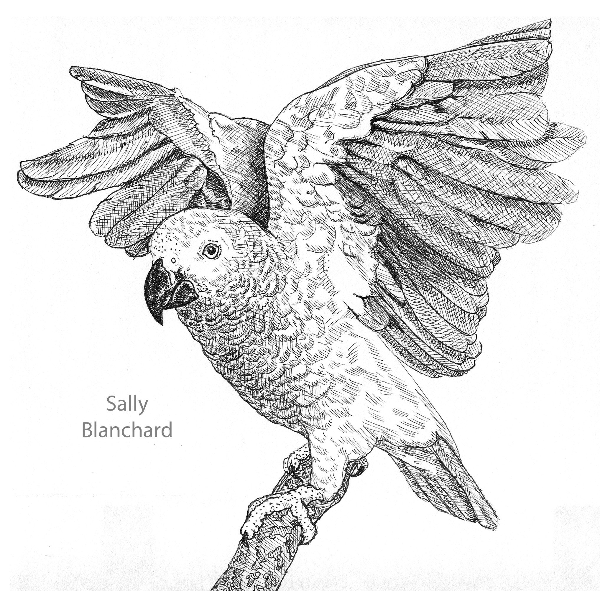 african grey drawing i like drawing african greys and have drawn a few just for african drawing grey