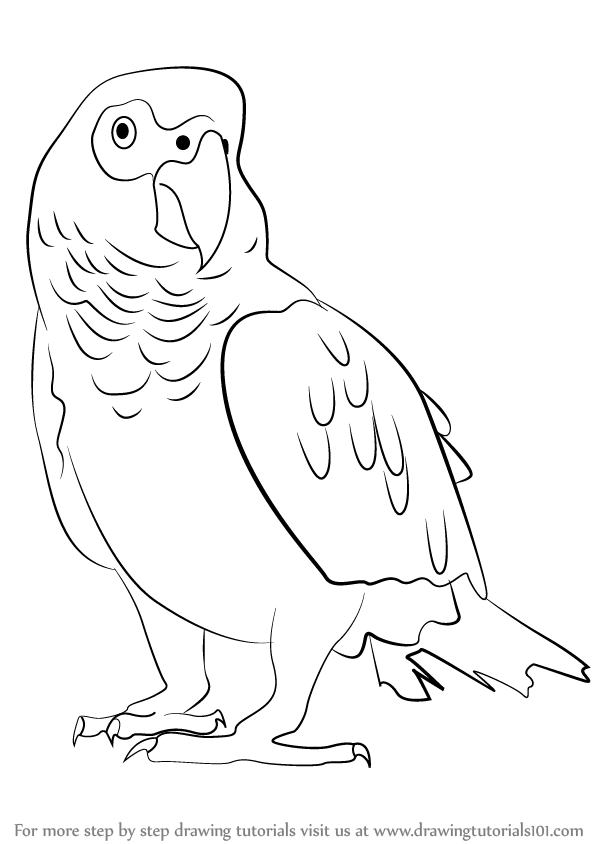 african grey drawing learn how to draw an african grey parrot birds step by drawing african grey