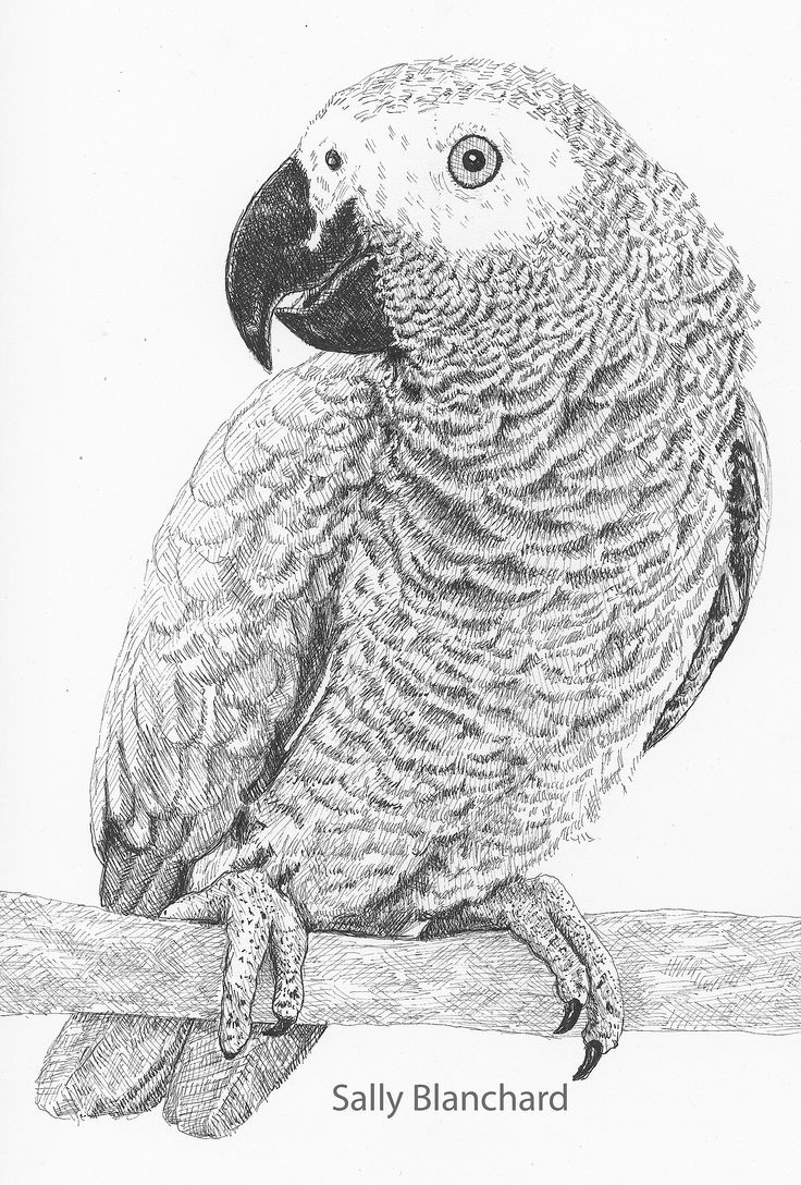 african grey drawing pin on animalsafrican grey african drawing grey