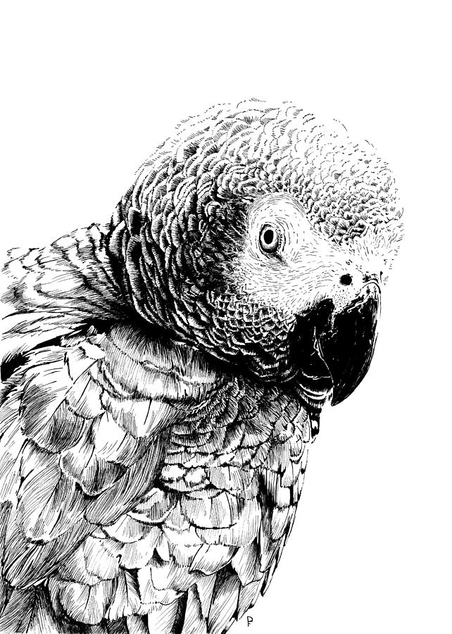 African grey drawing